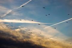 Sunset flight! (Sam-H-A) Tags: birds fly flight clouds light sunlight sony samyang135f2 a7m2 a7mii sonya7ii rays dreamy evening sun beautiful colors blue