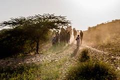 L1003361.jpg (Bharat Valia) Tags: pushkarfair bharatvalia desert rajasthanportraits bharatvaliagmailcom sheperd pushkarimages pushkarmela festivalsofindia camel pushkarcamelfair pushkar