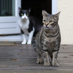 OK, You Go First ... (AnyMotion) Tags: nelli mira kitchendoor kchentre firststepsoutside pet cat cats katze katzen animals tiere 2016 anymotion tabby getigert atigrada blackandwhite flin chat gata 7d2 canoneos7dmarkii