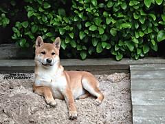 The Queen Shiba #shibainu #puppy #toocute #animal (mac d-ski photography) Tags: dog animal shiba shibainu puppy cute toocute sweet