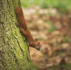 Getting down (hedera.baltica) Tags: squirrel redsquirrel eurasianredsquirrel wiewirka wiewirkapospolita sciurusvulgaris veverka tree