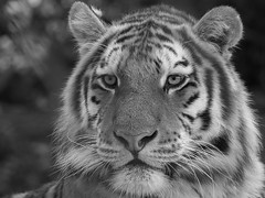 Tiger Tiger (Through-my-eyes.) Tags: dartmoor sparkwellzoo zoo tiger strips animal animals cat bigcat eyes nose whiskers enclosures enclosure collection bokah blackandwhite southwest devon bw monochrome carnivore mammal depthoffield pet outdoor