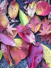 autumn leaves (chisato tanaka) Tags: autumn leaves 葉 秋 leaf