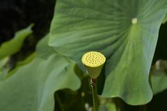 Fruchtstand der Lotosblume (bolliger51) Tags: boga blatt botanischergarten frucht fruchtstand garten laubblatt lotosblume lotosgewchse nelumbo nelumbonucifera nelumbonaceae wasserpflanze peltat bern schweiz che