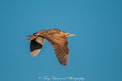 Bittern in Flight (botaurus stellaris) (phat5toe) Tags: bittern botaurusstellaris flight birds avian feathers wildlife nature wigan flashes greenheart nikon d300 sigma150500
