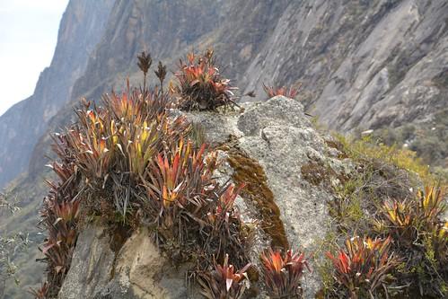Bromeliads in Llanganuco valley, Peru