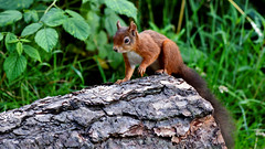 Red Squirrel (Sciurus vulgaris) (andrewmckie) Tags: redsquirrel sciurusvulgaris scotland scottish squirrel wildlife outdoor fife mortonlochs animal