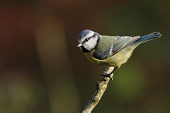 Bold bluetit (david.england18) Tags: bluetit various tits blue coal great birdsuk queensparkheywood canon7d canonef300mmf4lisusm smallbirds nuthatches robins