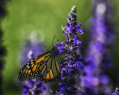 Monarch_SAF4352 (sara97) Tags: danausplexippus butterfly insect missouri monarch monarchbutterfly nature outdoors photobysaraannefinke pollinator saintlouis urbanpark copyright2016saraannefinke