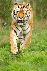 Vladimir (jackie#1981) Tags: tiger amurtiger siberiantiger bigcat feline animal nature yorkshirewildlifepark doncaster southyorkshire uk