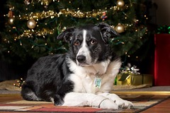 Bella 2016 Christmas (Sylvia Q) Tags: ocf offcameraflash softbox canonrebeleost6i 2016christmas bordercollie christmastree dog christmas christmaslights pet animal