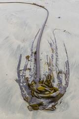 Kelp (J. Gschwender) Tags: kelp longbeach tofino vancouverisland canada kanada nikon gschwender