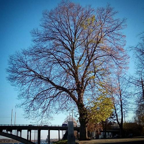 Рыбинск, осень. Прозрачная крона дерева около въезда на мост через Волгу #autumncolours #sky #autumn #october #рыбинск