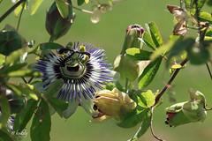 IMG_1690 Passiflora caerulea (blog) Cliquer pour agrandir (kadely) Tags: flower flowers fleur flore nature natural naturefinest eos canonfrance 70d 55250mm topf25 autoremovedfrom10to25faves