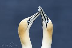 Northern Gannets (martinaschneider) Tags: northerngannet bird quebec canada birds water feather bonaventureisland gulfofstlawrence gaspépeninsula morusbassanus seabird