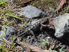 Mountain dragon (dracophylla) Tags: winifredcurtisscamanderreserve tasmania mountaindragon rankiniadiemensis