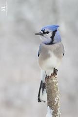 Geai bleu - Blue jay -  Cyanocitta cristata (Maxime Legare-Vezina) Tags: bird oiseau nature wild wildlife fauna ornithology biodiversity canon winter hiver quebec canada