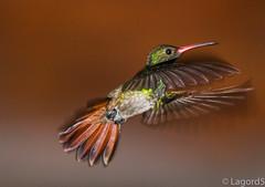 Colibr colirrojo.Rufous-tailed Humminngbird. Amazilia tzacatl. IMG_5950 (lagord5 /) Tags: birds aves volar color naturaleza verde rojo libre pequeo luzda flash veloz dulce flores visitantes