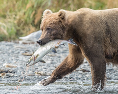 Success (Rick Derevan) Tags: alaska animals bear brownbear kodiak kodiakbrownbear ursusarctosmiddendorffi kodiaktrip2016 places