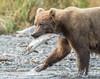Success (Rick Derevan) Tags: alaska animals bear brownbear kodiak kodiakbrownbear ursusarctosmiddendorffi kodiaktrip2016 places