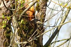 Chickadee excavating nest cavity (Delta Naturalists Casual Birding) Tags: 201414 dncb colony dncblocation