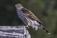 Cooper's Hawk (juvenile) IMG_5652 (ronzigler) Tags: coopers hawk raptor birdwatcher avian canon 60d sigma 150600mm nature