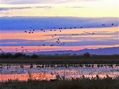 Sandhill Cranes at dusk, Winter Migration (moonjazz) Tags: birds california nature migration cranes sandhill dusk color sky photography canon squadron wings flock twilight pastel pink conservation flyway bird watching best fly photo blue hues ducks geese waterfowl