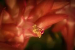 (Morag.) Tags: flower cactus fleur macro closeup petal pink nikon d3300 nikkor