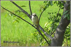 6571 - bay backed shrike (chandrasekaran a 38 lakhs views Thanks to all) Tags: birds tadoba maharashtra chandrapur tatr tigerreserve jeep safari tiger forest india travel canon powershotsx60hs baybackedshrike