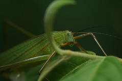 DSC09706 (gingerbreadtot) Tags: taiwan taipei 2016 sony nex6 walkabout zoo taipeizoo insects insecta orthoptera katydid