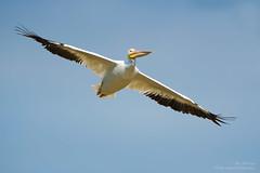 American White Pelican (ac4photos.) Tags: pelican americanwhitepelican bird inflight florida glades everglades nature wildlife animal naturephotography wildlifephotography animalphotography birdphotography inflightphotography nikon d500 tamron ac4photos ac