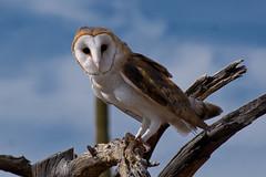 Beautiful Barn Owl (Journey CPL) Tags: barn owl beautiful bird desert wildlife wild tree branch
