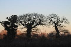 Three dancers (Cefn Ila) Tags: trees oak sunset silhouette llandefaelog dancing