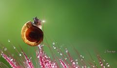 This morning (bug eye :) Thailand) Tags: macro closeup snail green pink lovely drop droplet water fresh morning light bugeye thailand