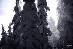 Trees shaking their winter coats (Jason Hummel Photography) Tags: whitepassskiarea skiresort skiarea washingtonstate winter2016 powder snow snowfall southerncascades cascademountains mountains jas2408 blackandwhite monochrome trees tree forest