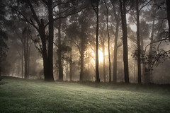 Fog of the Forrest (Nick Pemberton) Tags: landscape bush bushland gumtree mist sunrise australia photography photo atmosphere grass park forrest tree creepy fog mountain