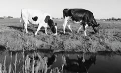 Cows (pjotr_kattuk) Tags: amsterdam blackwhite zwartwit nederland thenetherlands natuur katwijk landschap koeien katwijkaanzee ransdorp gillebaart