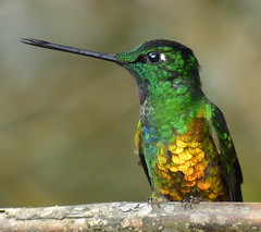 Inca buchidorado - Golden-bellied Starfrontlet (Coeligena bonapartei). (andresdelgado88) Tags: