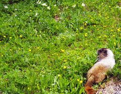Marmot, Mount Rainier National Park (svandagr) Tags: travel trees wild animal washington nationalpark outdoor hiking heather trail mountrainier marmot marmots