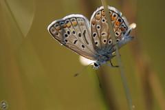 Polyommatus icarus - Argus bleu (forme aberrante) (Ruddy Cors) Tags: polyommatusicarus argusbleu