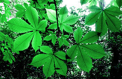 Leaves Close (The Little Brick Wall) Tags: green nature leaves colorful bright colourful emerald
