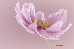 japenese anemone (mcdonalda34) Tags: flower macro canon sigma anemone japenese 105mm