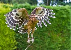 Bird of Prey Centre - Thirsk (terryh1609) Tags: uk bird birds eagle falcon birdsinflight prey vulture thirsk birdofpreycentre