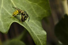harrijasotzaile (jm_alcon) Tags: autumn españa naturaleza color hoja colors canon garden spain wasp colores alas aragon otoño octubre teruel hiedra insecto antenas avispa aragón 2015 600d himenóptero cordilleraibérica eos600d canoneos600d laponiadelsur