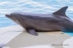 Delfino (Francesco De Gaetano) Tags: ocean blue sea holiday mammal grey mare grigio blu dolphin undersea vacanze oceano happyness felicit mammifero