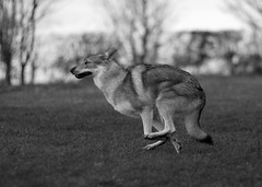 flight (Timoleon Vieta II) Tags: bw man love wolf flight trust hunted timoleon