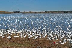 La tache / Red spot (alain.maire) Tags: canada bird nature quebec oiseau anatidae snowgoose chencaerulescens oiedesneiges