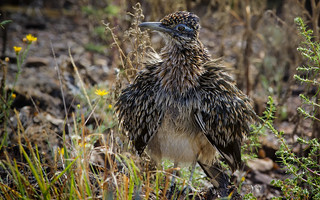 Greater Roadrunner Drying in the Sun
