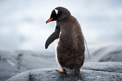 Gentoo Penguin, near Port Lockroy, Antarctica 2007