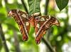 Attacus atlas JVA_0602_3_4_tonemapped (mrjean.eu) Tags: sara sp atlas demi insectes attacus papillons heliconiinae deuil heliconius phaetusa dryatula